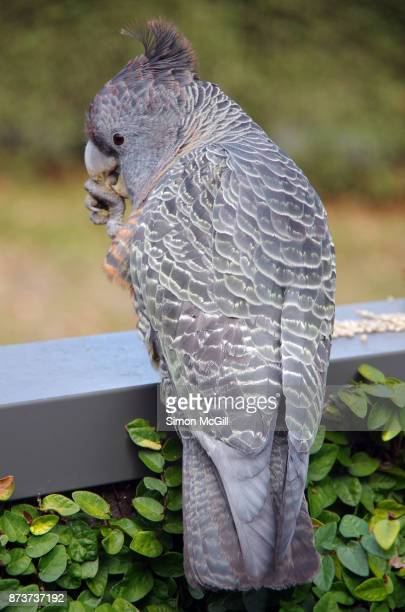 An adult female Gang-gang cockatoo (Callocephalon fimbriarum) eating sunflower seeds off a fence in Canberra, Australian Capital Territory, Australia