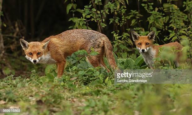An adult Fox with a Cub.