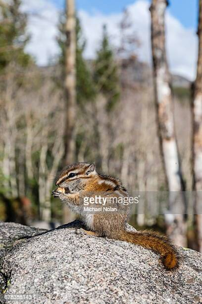 An adult golden-mantled ground squirrel (Callospermophilus lateralis) feeding, Rocky Mountain National Park, Colorado, United States of America, North America
