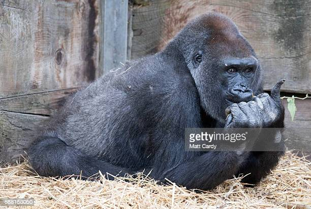 An adult gorilla looks out from 'Gorilla Island' that is shared with Afia the newest baby gorilla at Bristol Zoo on August 10 2016 in Bristol England...
