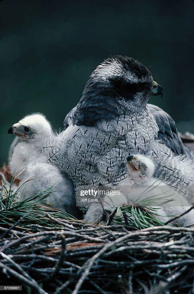 An adult goshawk sits on a nest surrounded by chicks.  Accipiter gentilis. : Stock Photo