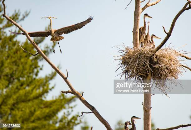 An adult great blue heron flies in with a stick clutched in its bill while fledgling herons occupy a nests in a central Maine rookery The location...