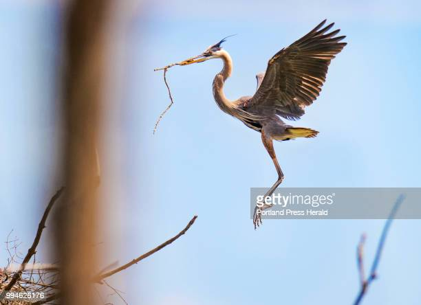 An adult great blue heron gets ready to land while clutching a stick in its bill in a central Maine rookery The location one of the locations being...
