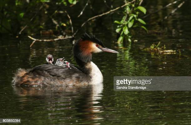 An adult Great Crested Grebe (Podiceps cristatus) swimming in a stream carrying its babies on its back.