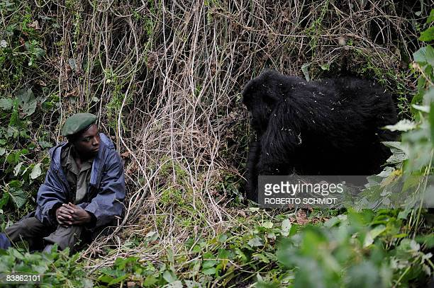 An adult male gorilla looks at a park ranger as a group of rangers conduct a gorilla population census on the slopes of Mount Mikeno in the Virunga...
