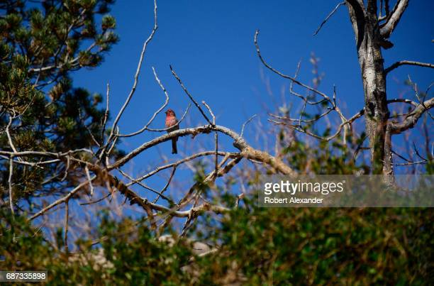 An adult male House Finch perches on a tree branch in Santa Fe New Mexico Originally only a resident of Mexico and the southwestern United States...