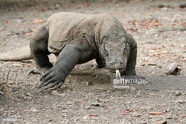 An adult male Komodo Dragon approaches on the island of Komodo Indonesia on Saturday Oct 25 2008 On a dusty track on the Indonesian island of Rinca a...