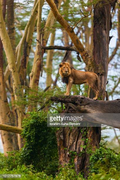 an adult male lion is standing on a dead tree that is fallen in a side long shot - male animal stock pictures, royalty-free photos & images