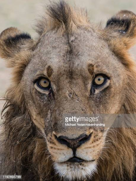 an adult male lion (panthera leo), south luangwa national park, zambia, africa - south luangwa national park stock pictures, royalty-free photos & images