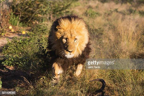an adult male lion with a dark mane running toward the viewer - lion attack stock pictures, royalty-free photos & images