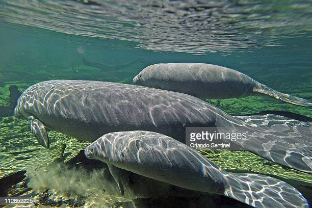 An adult Manatee center swims with two calves at Blue Spring State Park in Orange City Florida Thursday January 14 2010 Park service specialist Wayne...