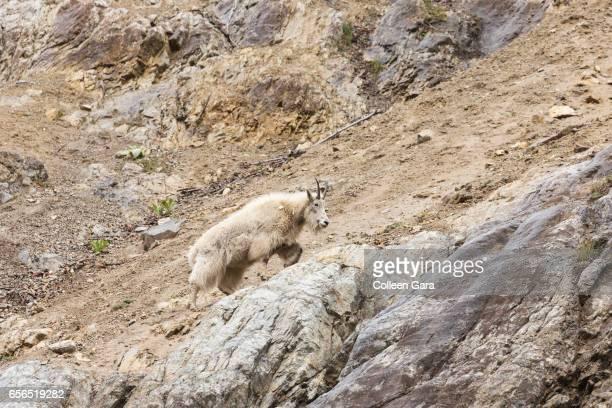 An adult Mountain Goat, oreamnos americanus, in British Columbia, Canada