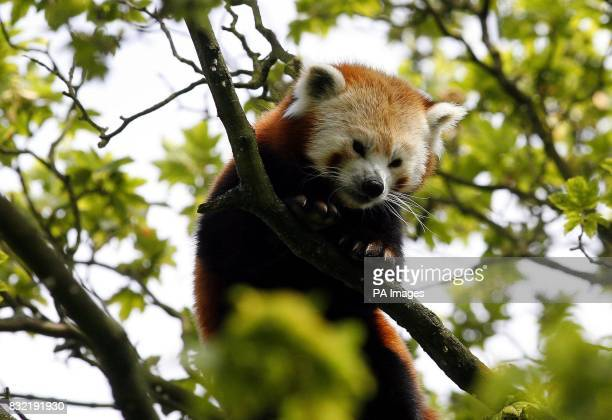 An Adult Red Panda Monday 9th August 2006 Picture by Peter Byrne/PA Chester zoo has had a baby boom with the birth of two Javan rhinoceros Hornbills...