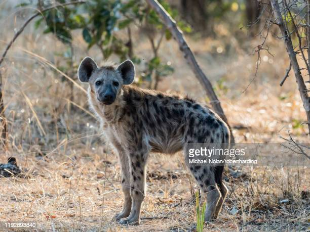 an adult spotted hyena (crocuta crocuta), south luangwa national park, zambia, africa - wild dog stock pictures, royalty-free photos & images