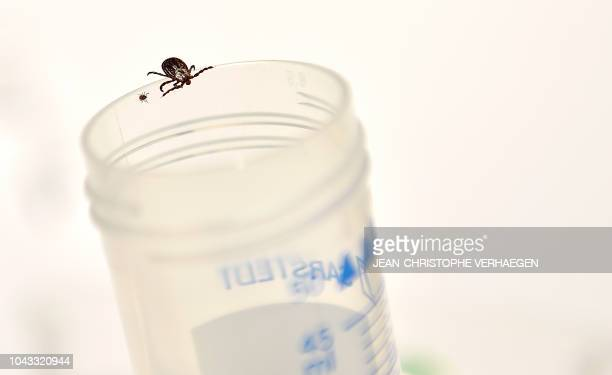 An adult tick is pictured beside a nymph in the laboratory of the INRA which constitutes a tiquothèque to study its geographical distribution the...