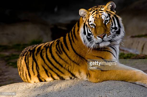 An adult tiger calmly posing for the camera