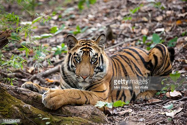 an adult tiger in bandhavgarh national park, lying on the ground. - bandhavgarh national park stock pictures, royalty-free photos & images