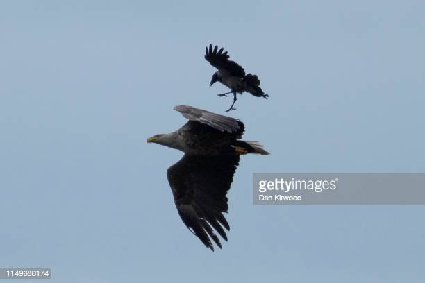 An adult whitetailed eagle also known as a sea eagle is mobbed by a hooded crow on June 13 2019 on the Isle of Mull Scotland The Royal Society for...