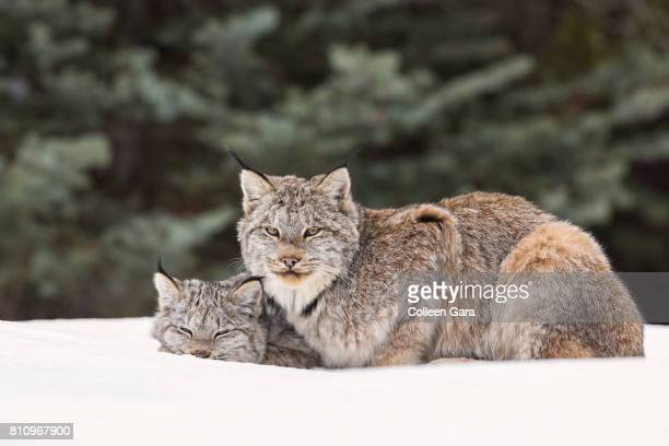 an adult wild lynx, lynx canadensis, in the canadian rockies - canadian lynx stock pictures, royalty-free photos & images