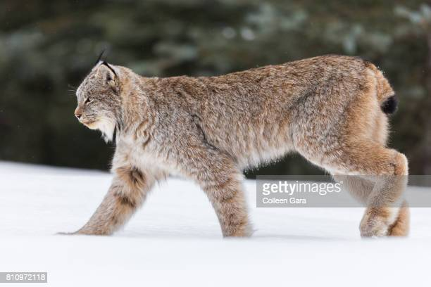 an adult wild lynx, lynx canadensis, in the canadian rockies - lynx photos et images de collection