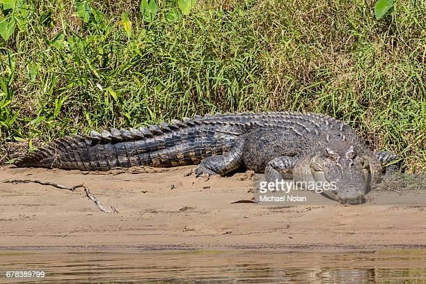 An adult wild saltwater crocodile (Crocodylus porosus), on the banks of the Daintree River, Daintree rain forest, Queensland, Australia, Pacific