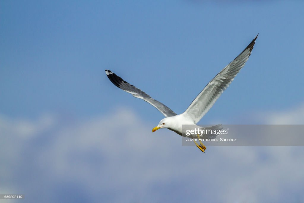 An adult yellow-legged seagull (Larus cachinans) flying over a blue sky and the clouds. : Stock Photo
