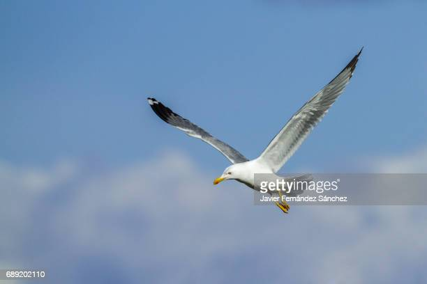 An adult yellow-legged seagull (Larus cachinans) flying over a blue sky and the clouds.