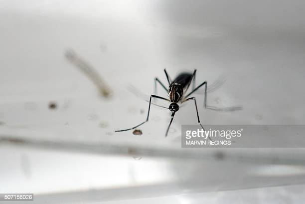 An Aedes Aegypti mosquito is photographed in a laboratory of control of epidemiological vectors in San Salvador on January 27 2016 Health authorities...