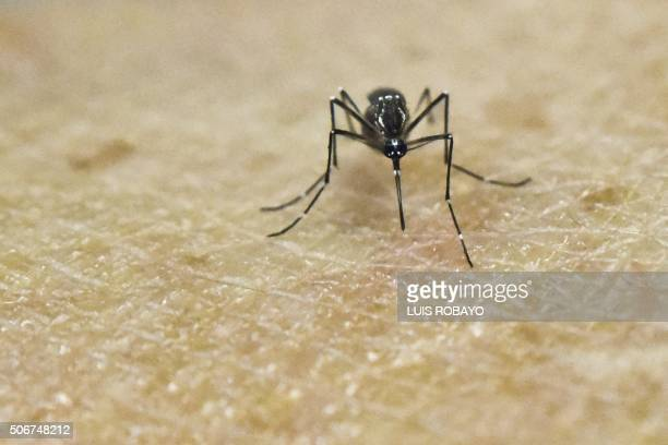 An Aedes Aegypti mosquito is photographed on human skin in a lab of the International Training and Medical Research Training Center on January 25 in...