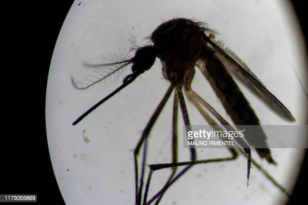 An Aedes aegypti mosquito is seen through a microscope at the Oswaldo Cruz Foundation laboratory in Rio de Janeiro Brazil on August 14 2019 After...