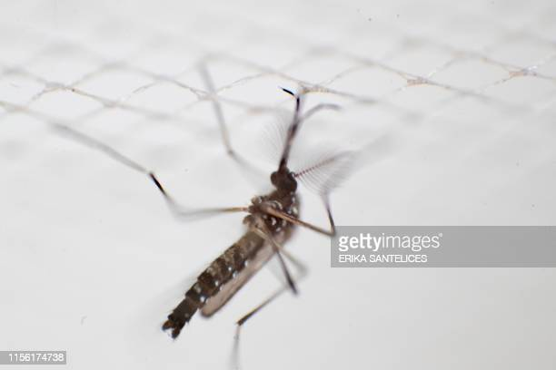 An aedes aegypti mosquito that carryies the dengue virus is photographed at a laboratory of the National Center for the Control of Tropical Diseases...