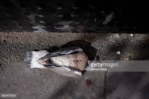 An aerial detail of a dead pigeon seemingly in a peaceful sleep in a City of London street With wings neatly folded the bird lies on the dirty ground...