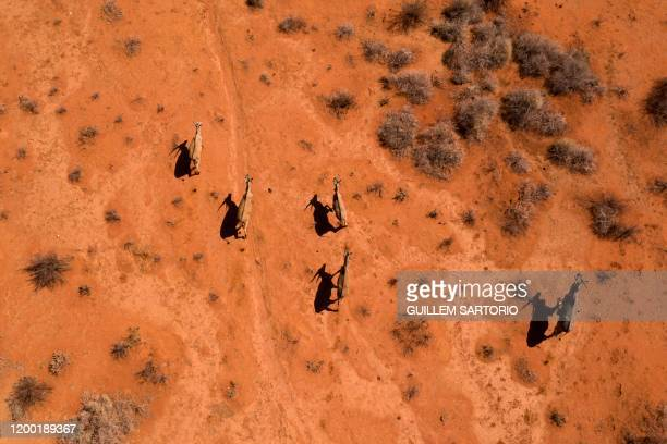 An aerial view of a group of waterbucks running through the Thuru Lodge Game reserve near Groblershoop on January 15 2020 In the Northern Cape...