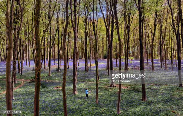 An aerial view of Bluebells from the treetops in Micheldever Wood on May 5,2021 near Winchester, England.