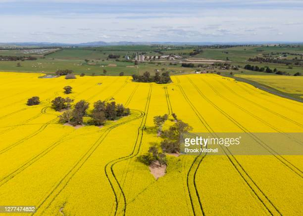 An aerial view of canola fields in full bloom near the small town of Harden are pictured on September 30, 2020 in Harden, Australia. Farmers in NSW...