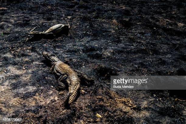 An aerial view of crocodile carcasses in a burnt area of the Pantanal on September 24, 2020 in Pocone, Brazil. Pantanal is located mostly within the...