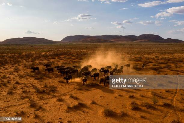 An aerial view of group of buffalos running at the Thuru Lodge Game reserve near Groblershoop on January 15 2020 In the Northern Cape Province of...