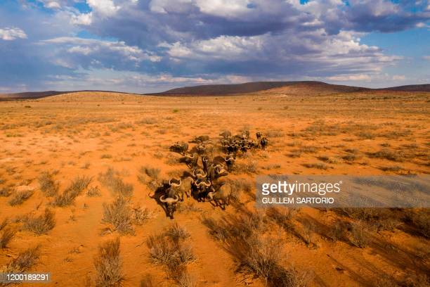 An aerial view of group of buffalos walking at the Thuru Lodge Game reserve near Groblershoop on January 15 2020 In the Northern Cape Province of...