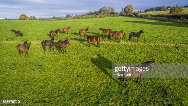 An aerial view of Irish horses on fields of Tipperary. Aerial view, sunrise on foggy day over Tipperary mountains and fields.