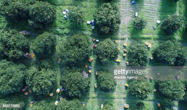 An aerial view of oranges being harvested in Finike district of Antalya Turkey on November 30 2017 Orange harvest began 20 days ago expected to end...