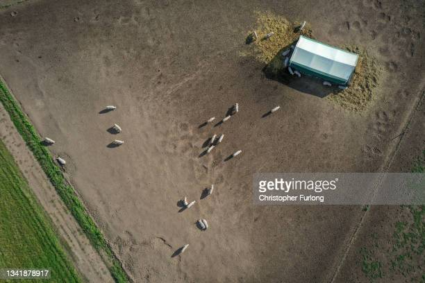 An aerial view of pigs grazing in a Staffordshire field on September 22, 2021 in Lichfield, England. The National Pig Association says farmers will...