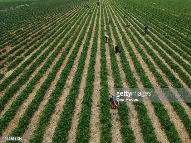 An aerial view of seasonal workers from Ukraine during the strawberry harvest in a field during the ongoing coronavirus crisis on May 27 2020 in...