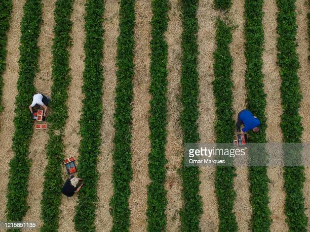 An aerial view of seasonal workers from Ukraine during the strawberry harvest in a field during the ongoing coronavirus crisis on May 27, 2020 in...