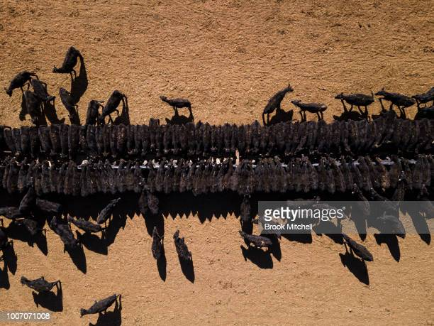 An aerial view of the cattle feeding operation on the property 'Toorawandi' owned by Coonabrabran farmer Ambrose Doolan and his wife Lisa Both the...