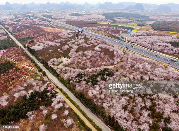 An aerial view of the spectacular blossom, majorly of cherry trees on March 16, 2016 in Guizhou, China. The area is a breeding base of trees for...