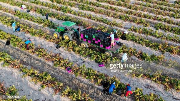 An aerial view of workers harvesting Cinsault grapes on Gras En Dal farm for Silvervis, a winery dedicated to making natural wines that are unfined...