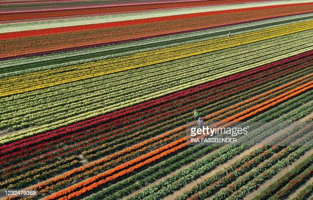 An aerial view shows a tulip field near Grevenbroich, western Germany, on April 23, 2021.