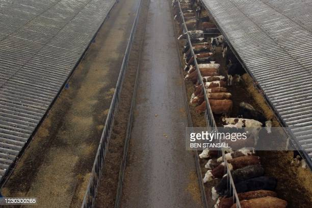 An aerial view shows beef cattle on David Exwood's farm near Horsham, south west of London on December 9, 2020. - David Exwood's glossy,...