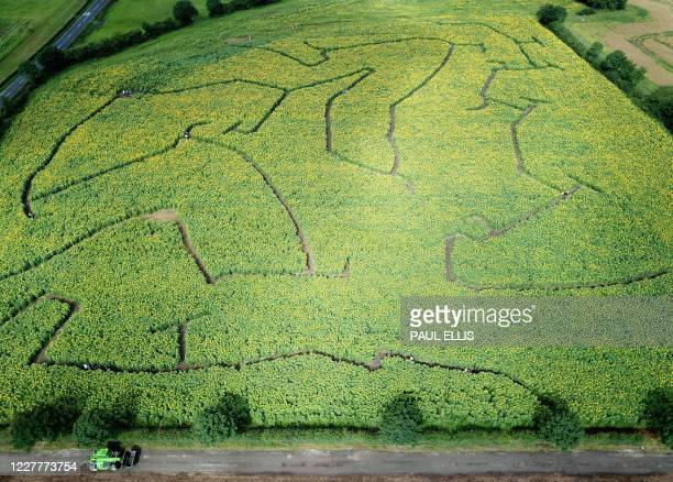 An aerial view shows people navigating their way through a sunflower maze in the village of Tarbock near Liverpool, north west England on July 25,...