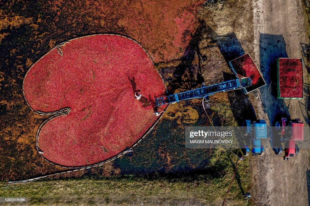 TOPSHOT-BELARUS-AGRICULTURE-CRANBERRIES-FEATURE : News Photo